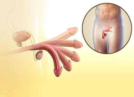 Sistema reproductivo masculino, ilustración