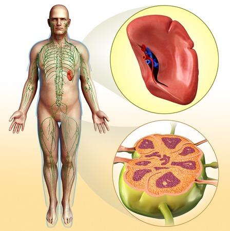 lymph: Human spleen and lymph node, illustration