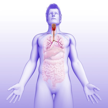 bronchioles: Bronchi of the human lungs, illustration