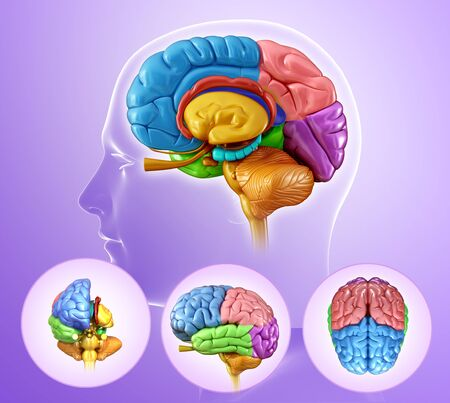 Human brain regions, illustration LANG_EVOIMAGES