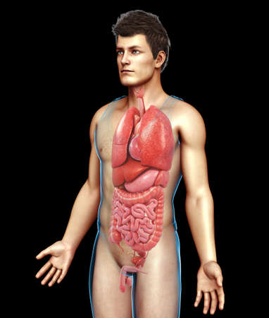 small intestine: Human digestive system, illustration LANG_EVOIMAGES
