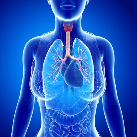 bronchioles: Female trachea and bronchi, illustration LANG_EVOIMAGES