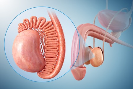 testes: Males testes, illustration