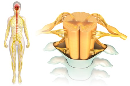 Spinal Cord Anatomy Illustration Stock Photo Picture And Royalty