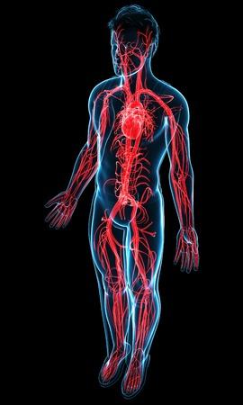 Mujer Sistema Vascular, Ilustración Fotos, Retratos, Imágenes Y ...