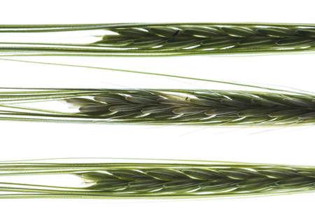 Back lit wheat stalks