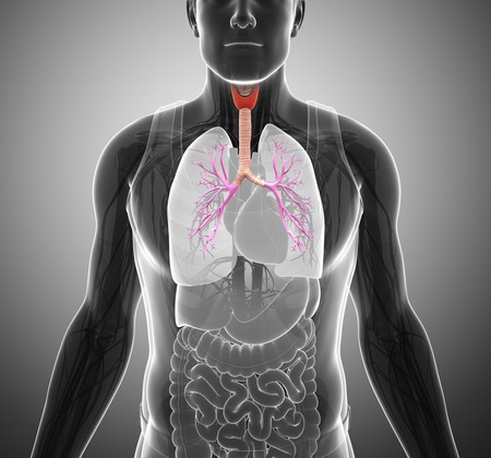 bronchioles: Trachea and bronchi, illustration