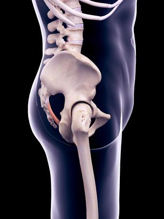 pelvis: Pelvis ligament, illustration
