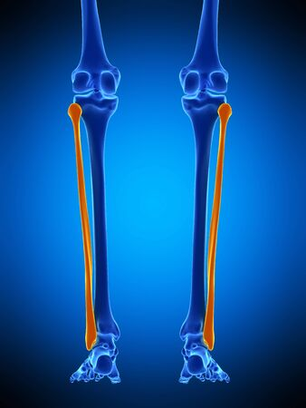 Lower Leg Bones, Illustration Stock Photo, Picture And Royalty Free ...