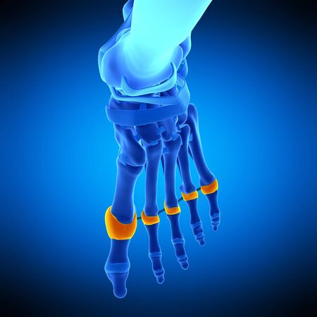 proximal: Toe joint capsules, illustration LANG_EVOIMAGES