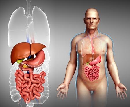small intestine: Male digestive system, illustration