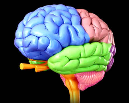 Human brain anatomy, illustration LANG_EVOIMAGES