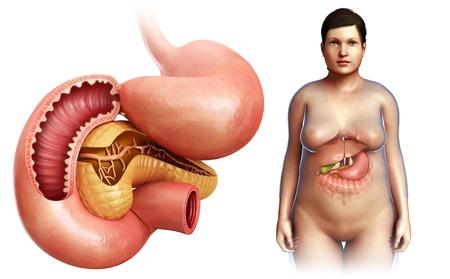 duodenum: Pancreas and duodenum, illustration