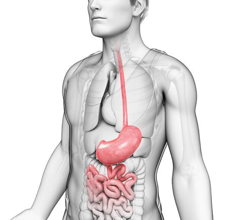 Male stomach, illustration LANG_EVOIMAGES