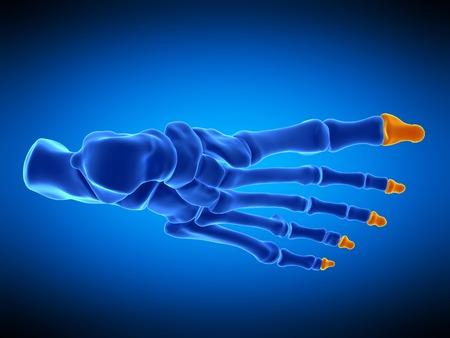 Foot bones, illustration LANG_EVOIMAGES