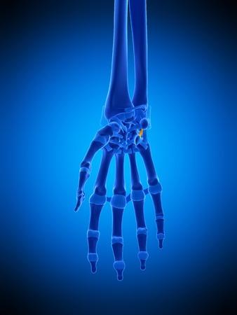 skeletal system: Hand ligament, illustration