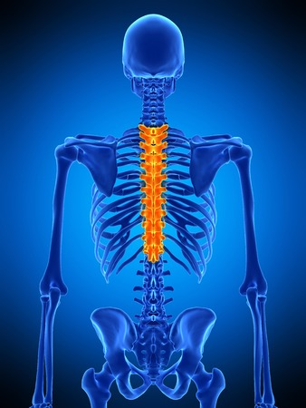 thoracic: Thoracic spine, illustration