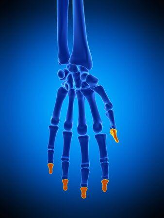 huesos de la mano, ilustración LANG_EVOIMAGES