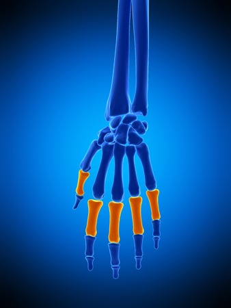 phalanges: Hand bones, illustration