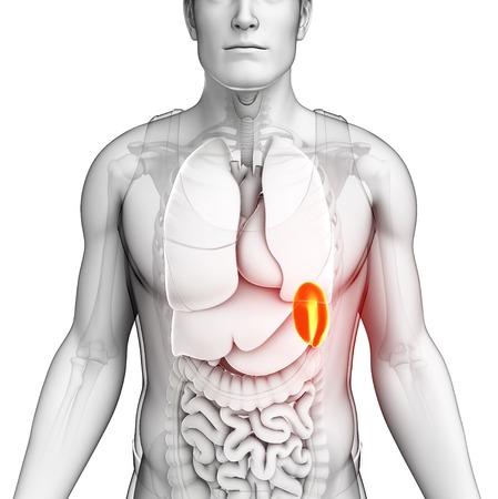 Male spleen, illustration
