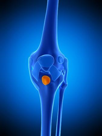Knee bursa, illustration LANG_EVOIMAGES
