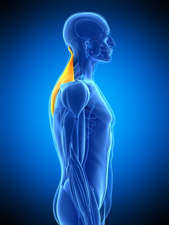 trapezius: Back muscles, illustration LANG_EVOIMAGES