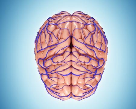 sistema nervioso central: Brain veins and anatomy, illustration