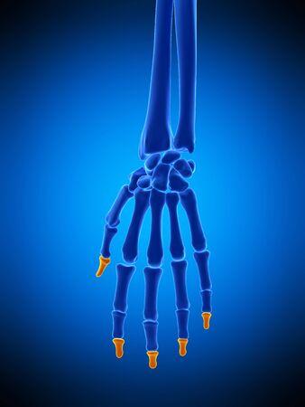 distal: huesos de la mano, ilustración LANG_EVOIMAGES