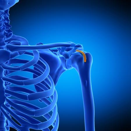 sheath: Shoulder tendon sheath, illustration
