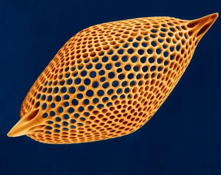 plancton: Prueba radiolariana, SEM LANG_EVOIMAGES