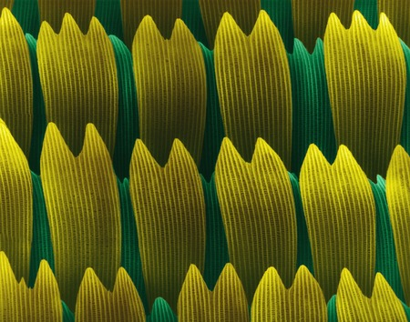 swallowtails: Butterfly wing scales, SEM