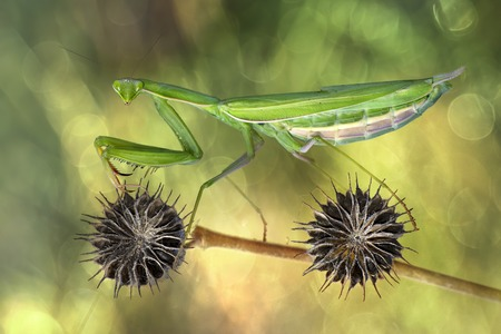 Praying mantis on a plant stem