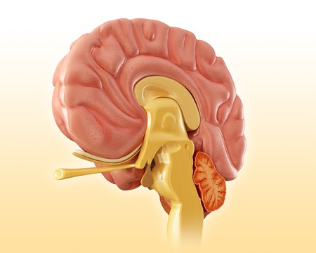 sistema nervioso central: Illustration of a sagittal mid-section of the human brain LANG_EVOIMAGES