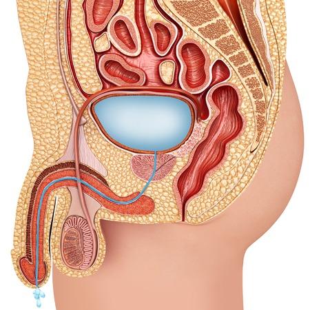 Sistema Urinario Masculino, Ilustración Fotos, Retratos, Imágenes Y ...