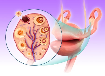 ovulation: Illustration of the ovarian cycle and ovulation