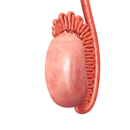 Illustration of the anatomy of a male testis (testicle)