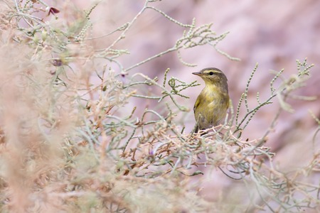 perched: Willow Warbler Phylloscopus trochilus LANG_EVOIMAGES