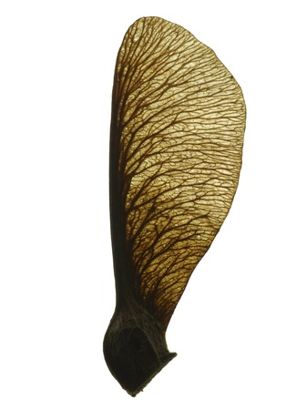 acer: Sycamore seed