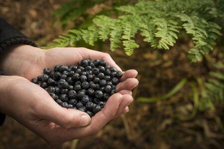 bilberries: Person holding bilberries