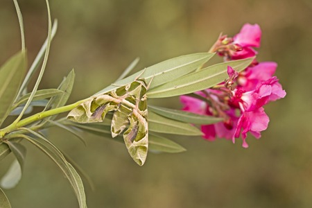 deilephila: Oleander hawk moth Daphnis nerii