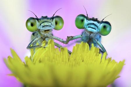 zygoptera: Two damselflies on wild flower