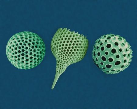 protozoan: Radiolarian tests, SEM
