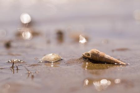 corkscrew shape seashell