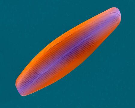 Diatom frustule (pennate) Navicula, SEM