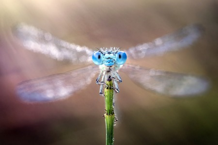 zygoptera: Damselfly with its wings spread out