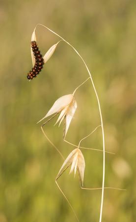 israeli: False Apollo butterfly caterpilla