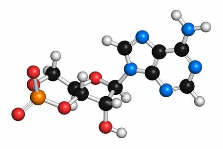 Cyclic adenosine monophosphate molecule LANG_EVOIMAGES