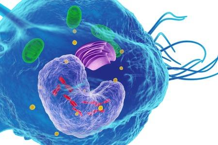 Macrophage white blood cell, illustration