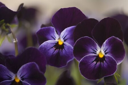 Pansies (Viola cornuta Sorbet XP Delft Blue) LANG_EVOIMAGES