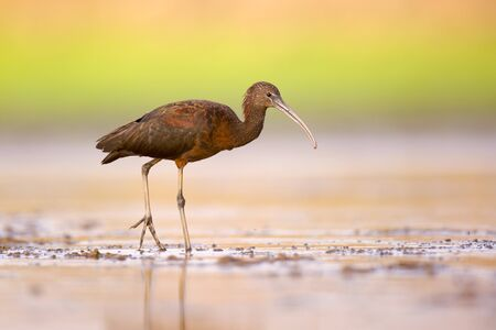 freshwater snails: Glossy Ibis (Plegadis falcinellus) feeding on freshwater snails in shallow water. These birds feed mainly on aquatic invertebrates insects such as freshwater snails,mussels,crabs and crayfish. Photographed at Ein Afek Nature reserve,Israel,in August
